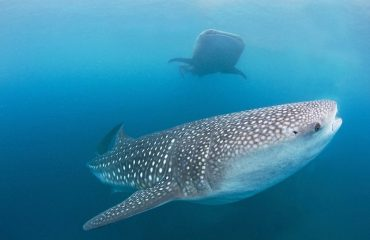 Oslob whale shark watching day trip from Cebu