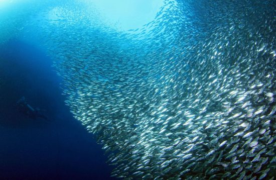 A large group of sardines in Cebu