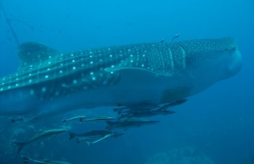 Day trip Whale shark watching in Donsol, Philippines