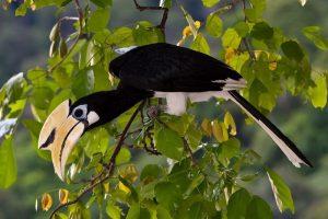 Endangered hornbill in Palawan