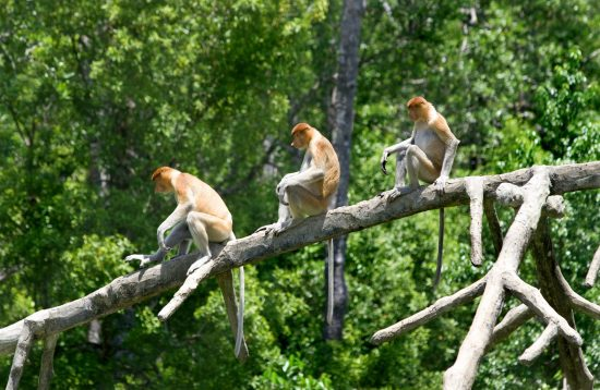 A group of monkey on a tree in Borneo