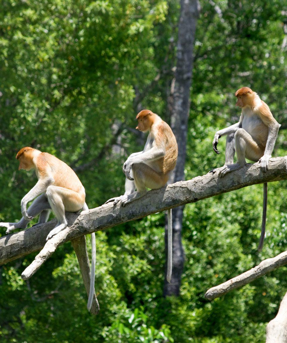 Proboscis Monkeys Sabah Borneo
