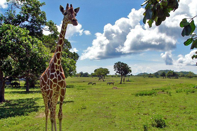 a Giraffe in Calauit Island