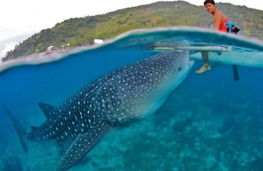 Whale Shark in Oslob Cebu