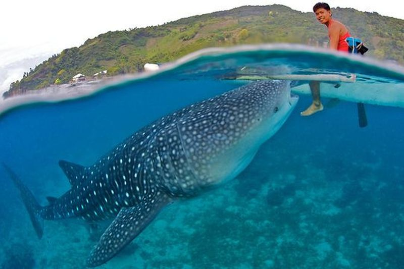 Fisherman interacting with whale sharks