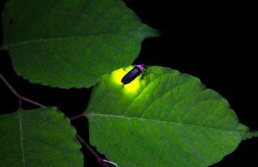 Firefly watching in Coron, Palawan bioluminescence